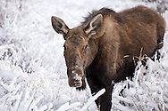 A cow moose makes her way through the fresh snow after a fast moving winter storm dusted the Shoshone National Forest with a coating of white.