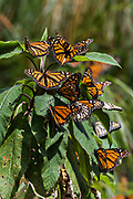 Monarch Butterflies sun on a plant at the El Capulin Monarch Butterfly Biosphere Reserve in Macheros, Mexico. Each year millions of Monarch butterflies mass migrate from the U.S. and Canada to the Oyamel fir forests in central Mexico.