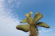 Prickly pear cactus on Santa Cruz island, Galapagos islands, Ecuador.