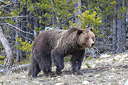 Adult grizzly bear walking on a rocky slope in western Wyoming