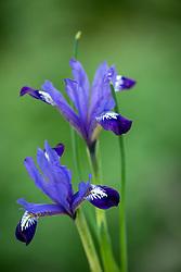 Iris reticulata 'Fabiola'