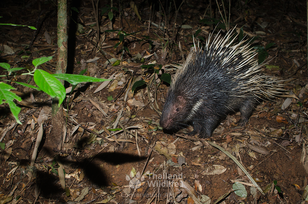 The Malayan porcupine or Himalayan porcupine (Hystrix brachyura) is a species of rodent in the family Hystricidae.  Their habitat is terrestrial where they live in the hole of tree barks or roots. They also live in a burrow, from which a network of trails penetrate into surrounding habitat. They can be found in all forest types up to 1500 m altitude