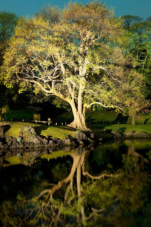 Tree with reflection at Hamarikyu (also Hama Rikyu)  Gardens, Chuo Ward, Tokyo, Kanto Region, Honshu, Japan