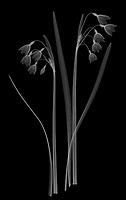 X-ray image of a summer snowflake group (Leucojum aestivum, white on black) by Jim Wehtje, specialist in x-ray art and design images.