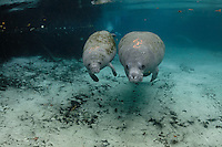 Manatee Health Assessments, Kings Bay, Crystal River, Citrus County, Florida USA. November 28, 2012, 3:08 pm. Researchers from several federal and state agencies work together to gather data during the manatee capture and health assessments. A mother manatee and her calf swim into Three Sisters Springs after being sampled for the manatee assessments four hours earlier. They are assigned grease pencil marks 19 and 20 along with their sex. This mother and calf was photographed in the net four hours earlier and were kept together and released together.