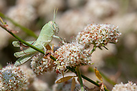 Schistocerca nitens (Gray Bird Grasshopper) nymph at Grizzly Flat, Los Angeles Co, CA, USA, on California buckwheat 12-Aug-18
