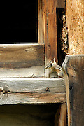 Chipmunk, Squirrel, Moose Creek, Salmon, Old Building, Building, Forest, Salmon Challis National Forest, Idaho