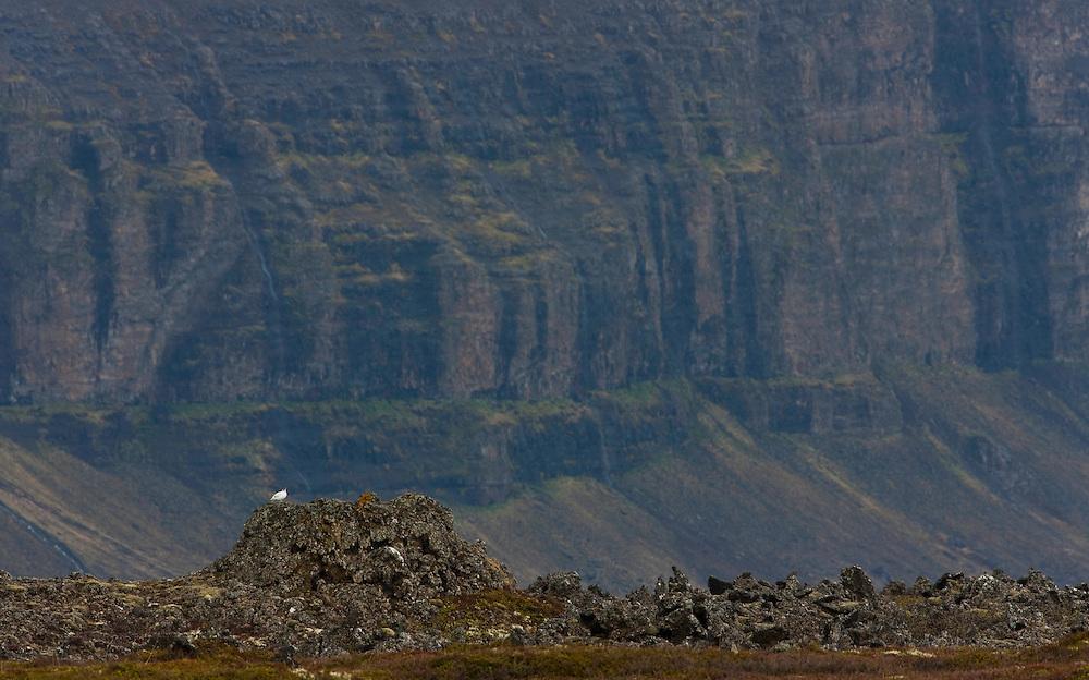 Iceland; Lagopus muta; Myvatn; Rock Ptarmigan; Thingeyjarsyslur, Iceland