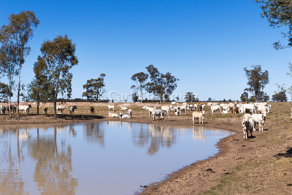 Brahman cross (Bos Indicus) cattle in outback farm paddock around watering hole earthen dam in The Gums, Queensland, Australia