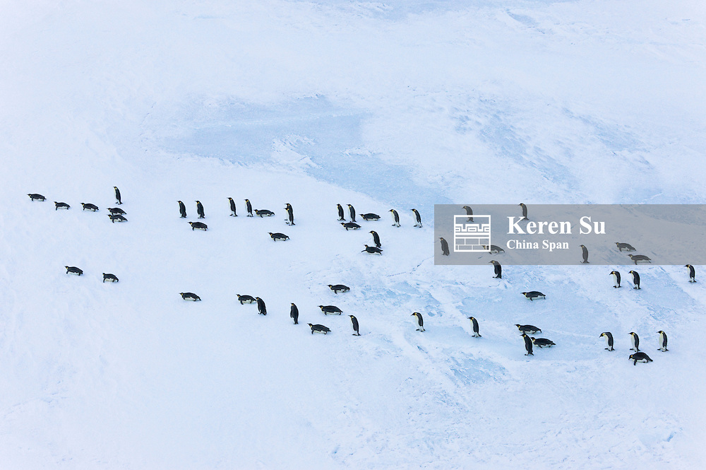 Emperor Penguins marching on ice, Snow Hill Island, Antarctica