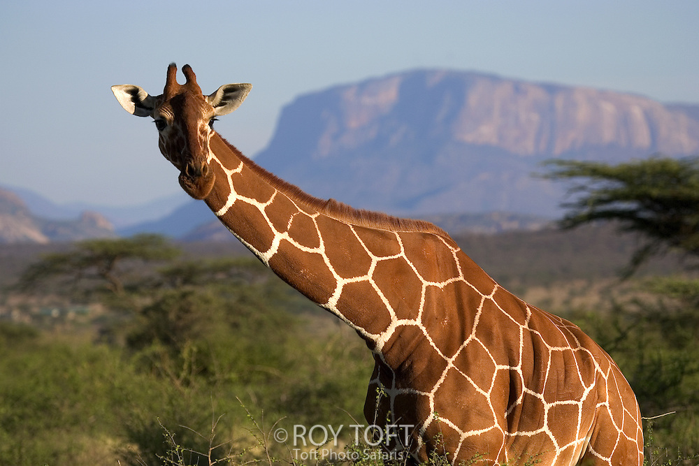 Portrait of Reticulated Giraffe (Giraffa camelopardalis reticulata), Samburu, Kenya, Africa.