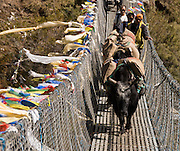Heavily loaded yaks cross the Larja Bridge, a narrow metal swing bridge which is strung with Tibetan Buddhist prayer flags, below the town of Namche Bazaar, in Sagarmatha National Park, Nepal. Sagarmatha National Park (created 1976) was honored as a UNESCO World Heritage Site in 1979.