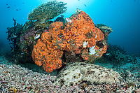 A Tassled Wobbegong lies in wait under a sponge encrusted coral head.<br /> <br /> Shot in Indonesia