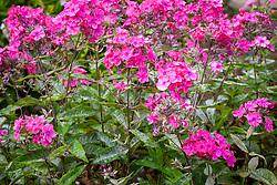 Phlox flowering despite mildew. Phlox paniculata 'Otley Choice'