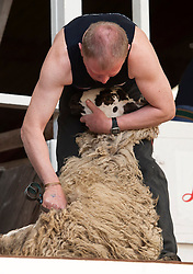 © Licensed to London News Pictures. 28/05/2015. Shepton Mallet, Somerset, UK.  The Golden Shears Open Blade Shearing competition for sheep shearing at the Royal Bath & West Show, the biggest annual farming show in England. Photo credit : Simon Chapman/LNP