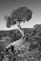 Colorado Black Canyon Juniper Tree in Black and White