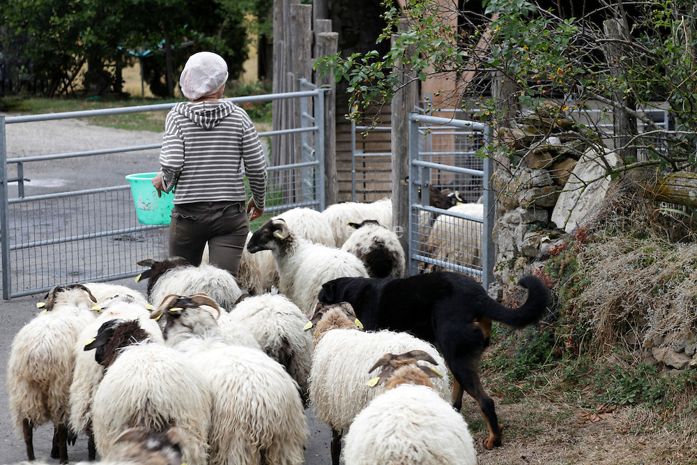 flock of sheep brought to the barn for milking