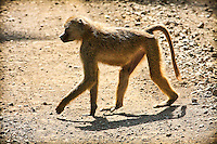Baboon walking across a road in Africa. Wildlife and nature photography prints. Wall art and stock images. Nicki Geigert