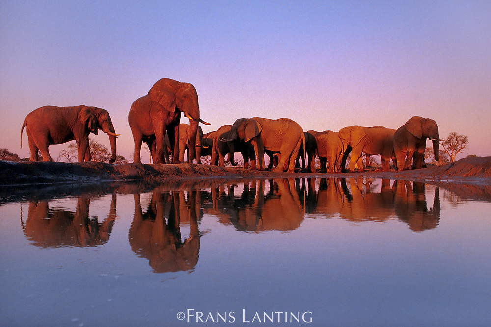 African elephants at waterhole, Chobe National Park, Botswana
