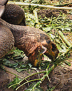 A Galápagos giant tortoise (Chelonoidis nigra, formerly called Geochelone elephantopus) eats leaves at the Charles Darwin Research Station (CDRS, operated by the Charles Darwin Foundation) in Puerto Ayora on Santa Cruz Island, Galápagos islands, Ecuador, South America.  This species is the largest living tortoise and is native to seven islands of the Galápagos archipelago. Fully grown adults can weigh over 300 kilograms (661 lb) and measure 1.5 meters (5 feet) over the curve of the shell. They are long-lived with a life expectancy of up to 100-150 years in the wild. Populations fell dramatically because of hunting and the introduction of predators and grazers by humans since the 1600s. Only ten subspecies of the original twelve exist in the wild. Since Galápagos National Park and the Charles Darwin Foundation were established, hundreds of captive-bred juveniles have been released back onto their home islands.
