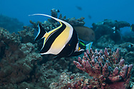 Moorish idol-Zancle cornu (Zanclus cornutus), Moorea island, French Polynesia.