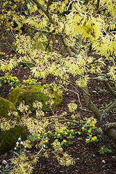 Eranthis hyemalis AGM growing under witch hazel - Hamamelis × intermedia 'Pallida'
