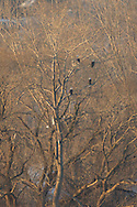 Bald Eagles of Onondaga Lake Syracuse NY