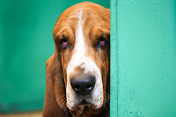 © Licensed to London News Pictures. 09/03/2017. Birmingham, UK. A bloodhound peaks round a corner at the 126th annual Crufts dog show at the NEC in Birmingham, West Midlands. The show is organised by the Kennel Club and is the biggest of it's kind in the world.  Photo credit : Ian Hinchliffe/LNP