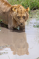 The 5 juvenile male lions of the Marsh Pride having a good time in the water in the heat of the day, away from the eyes of the lionesses, Romeo, Clawed and the cubs. they have spent some time around the waterhole drinking, sleeping and getting wet.