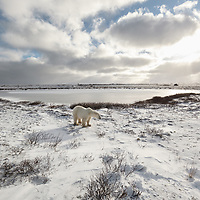 A polar bear stands at the end of a frozen kettle along Hudson Bay as the sun pokes through the clouds.