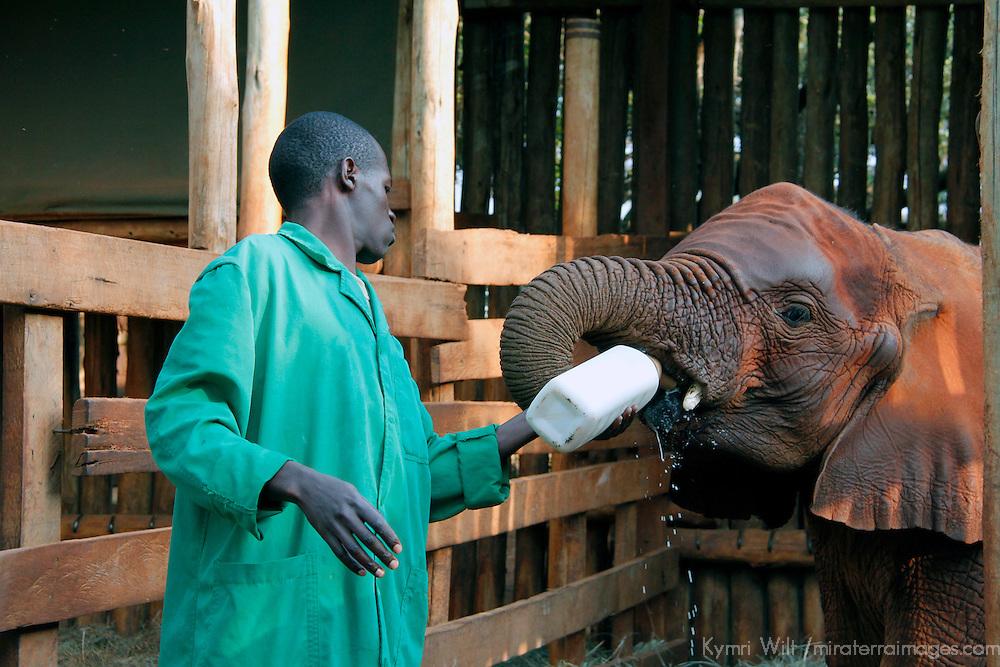 Africa, Kenya, Nairobi. Caretaker bottle feeds orphaned baby elephant at David Sheldrick's Wildlife Trust.