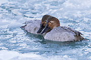 Canvasbacks, Aythya valisineria, female, Detroit River, Ontario, Canada