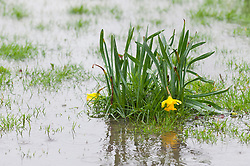 © Licensed to London News Pictures. 12/03/2019. Builth Wells, Powys, Wales, UK. Daffodils get flooded as heavy rain falls in the Welsh market town of Builth Wells in Powys, Wales, UK. ahead of the arrival of Storm Gareth which is forecast to hit Wales this evening. Photo credit: Graham M. Lawrence/LNP