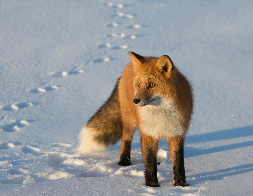 Alaska. Red Fox (Vulpes vulpes) in winter, north slope.