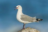Hartlaubs Gull calling, Malgas Island, West Coast National Park, Western Cape, South Africa