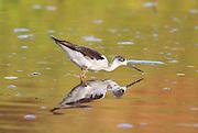 Black-winged Stilt (Himantopus himantopus) wading in water Photographed in Israel