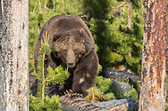 After more than three years spent raising a cub, the grizzly sow, known as Raspberry, was once again seeking a mate. This boar was ready to oblige and spent 12 days courting Raspberry in mid-June.