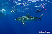 photographers, shark cage, and tiger shark, Galeocerdo cuvier, North Shore, Oahu, Hawaii, USA ( Central Pacific Ocean ) MR 389, 390