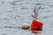 Arctic Tern (Sterna paradisaea) landing on a mooring buoy