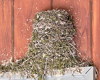 Eastern Phoebe nest above my front door. Image taken with a Fuji X-H1 camera and 200 mm f/2 lens + 1.4x teleconverter (ISO 1600, 280 mm, f/5.6, 1/150 sec).