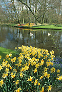 Daffodils and swans at Keukenhof Spring Garden, Holland.