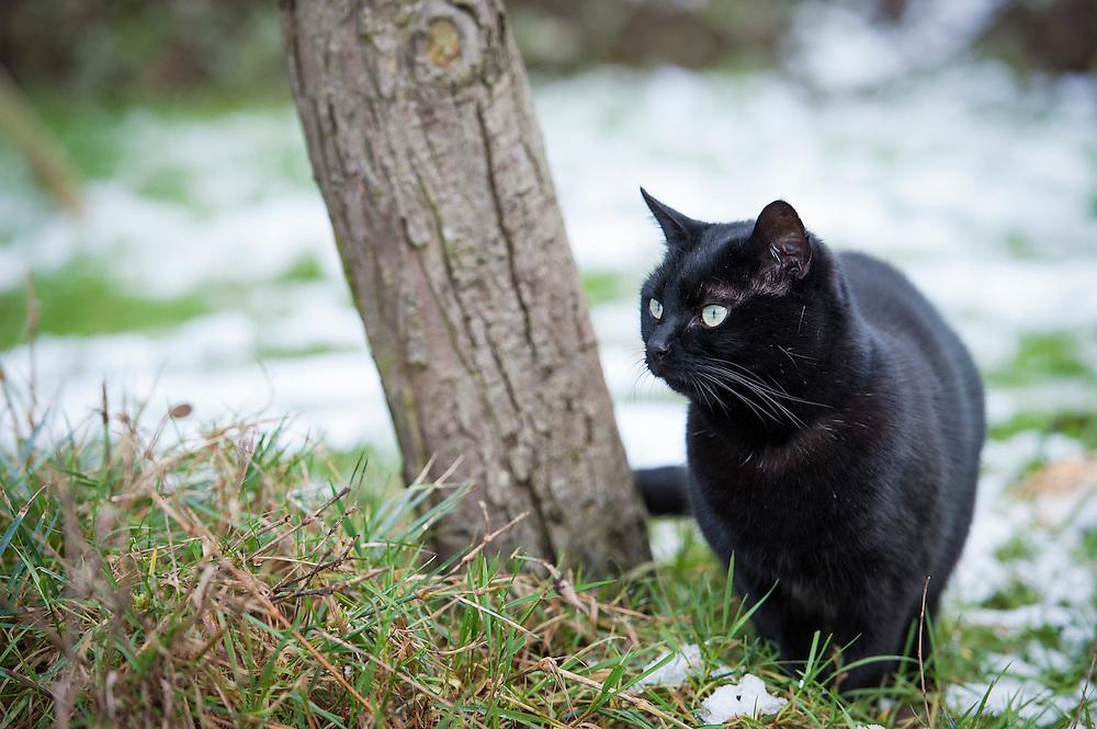 Black pet cat in a suburban garden in winter, Leicester, England, UK.