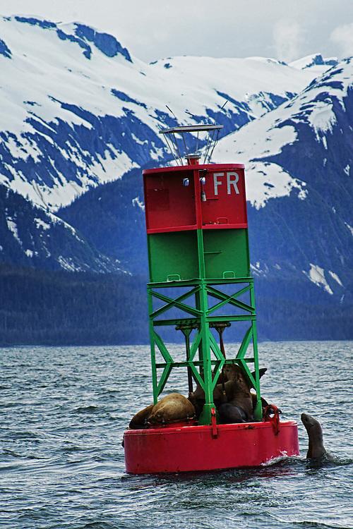Seals on a Buoy, Auke Bay