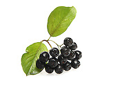 Black chokeberry on white background