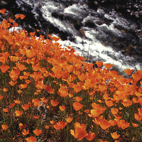 California poppies in spring above the South Fork of the Merced River, Mariposa County, California.