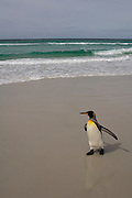 King Penguin (Aptenodytes p. patagonica) on beach.<br /> Volunteer Point, Johnson's Harbour, East Falkland Island. FALKLAND ISLANDS.<br /> RANGE: Circumpolar, breeding on Subantarctic Islands. Extensive colonies found in South Georgia, Marion, Crozet, Kerguelen and Macquarie Islands. The Falklands represent its most northerly range. They are highly gregarious which probably accounts for it common association with colonies of Gentoo Penguins.<br /> King Penguins are the largest and most colourful penguins found in the Falklands. They have a unique breeding cycle. The incubation of one egg lasts for 54-55 days and chick rearing 11-12 months. As the complete cycle takes more than one year a pair will generally only breed twice in three years.