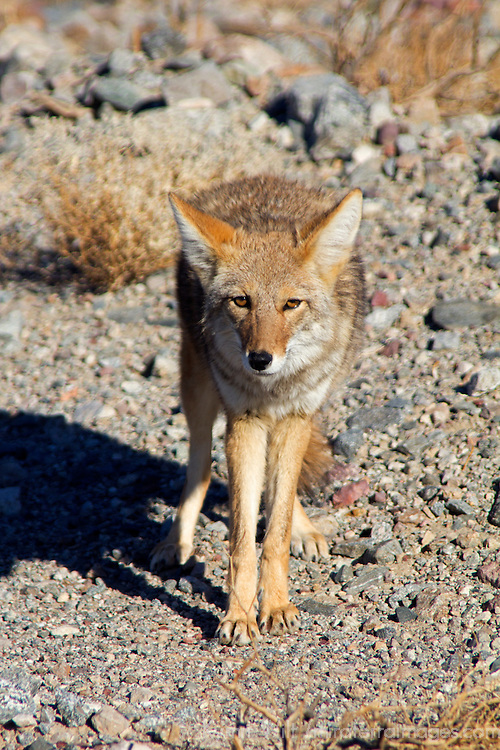 USA, California, Death Valley National Park. A coyote in the wild at Death Valley.