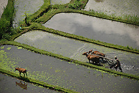 Farmer plowing his paddy fields with oxen in the traditional way as seen from above.  Bali, Indonesia.