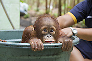 Bornean Orangutan<br /> Pongo pygmaeus<br /> Infant in bath<br /> Orangutan Care Center, Borneo, Indonesia