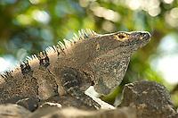 Black Iguana (Ctenosaura similis) Costa Rica. Image by Andres Morya